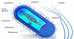 Septic bacteria